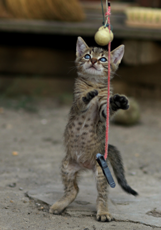cat playing with homemade toy